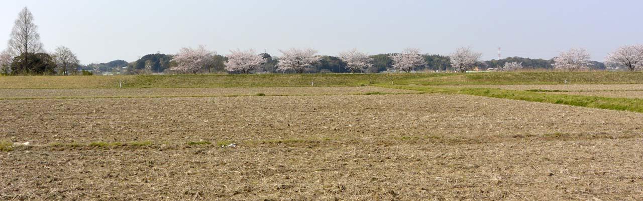 _DSC9805近所の桜