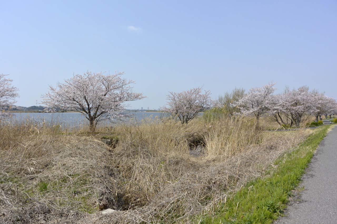 _DSC9844近所の桜