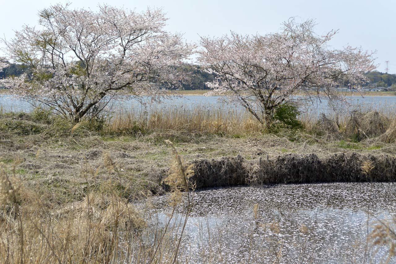 _DSC9852近所の桜