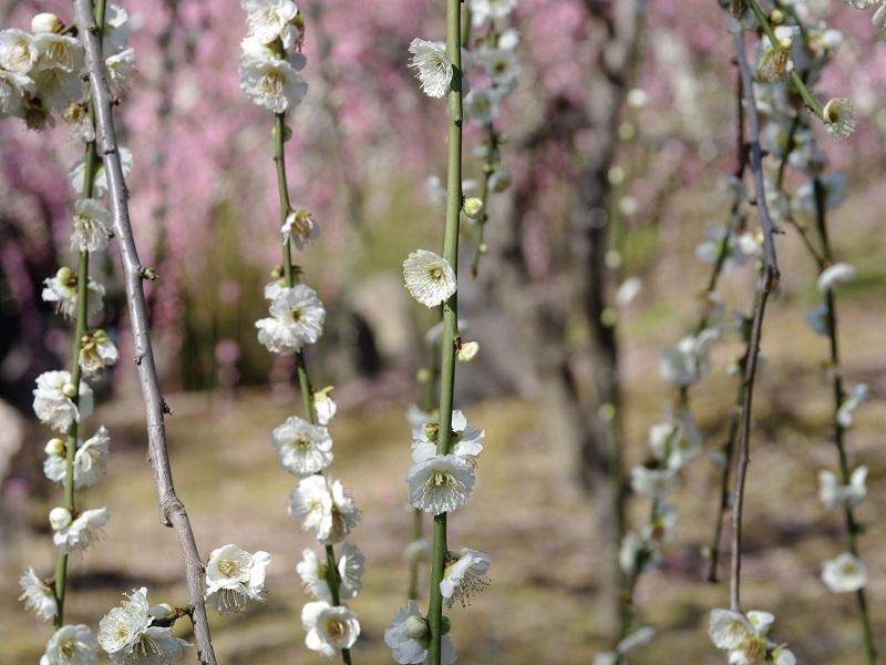 城南宮 梅の花その1