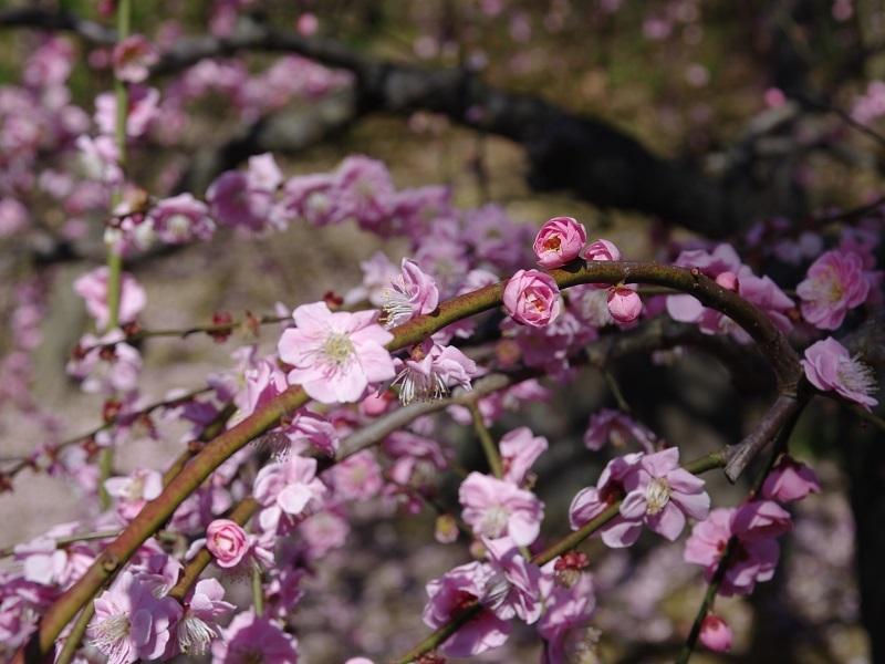城南宮 梅の花その2