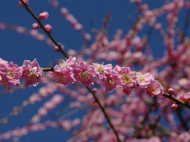 城南宮 梅の花その3