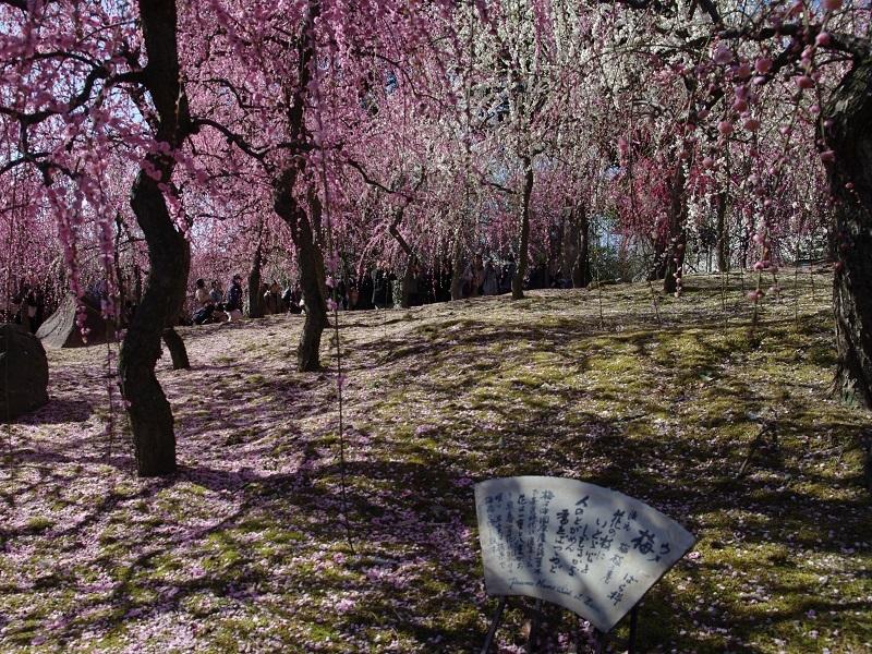 城南宮 梅の花その5