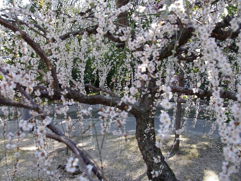城南宮 梅の花その6