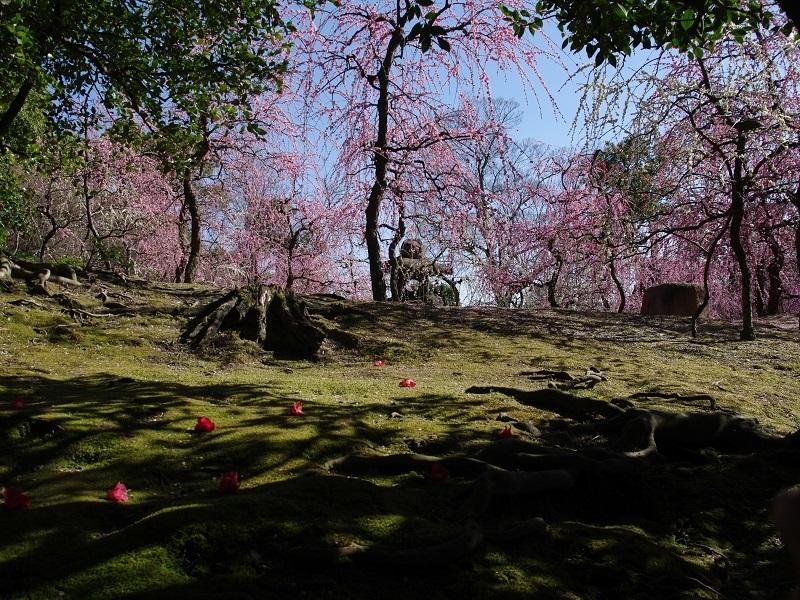 梅と椿の競演