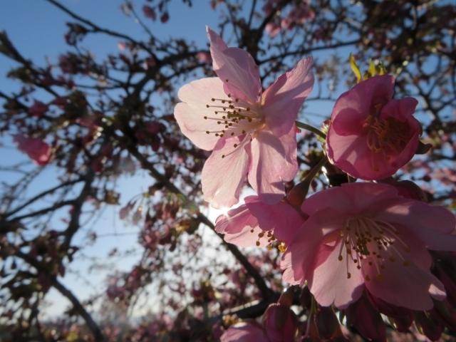 早咲きの河津サクラかな