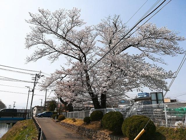 1804sakura002.jpg
