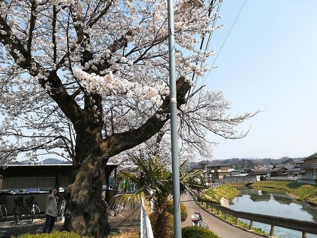 1804sakura003.jpg