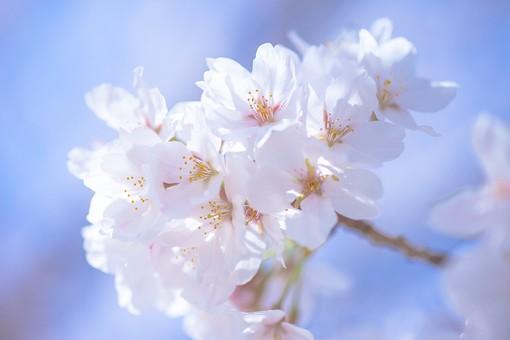 めでたい桜狩り~茶と華と・春の番外編~・1