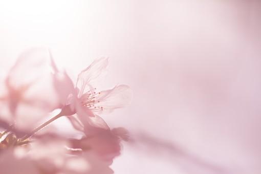 めでたい桜狩り~茶と華と・春の番外編~・12