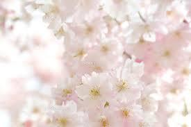 10月の向日葵~番外編 桜の日の2人~・2