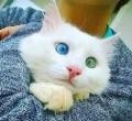 目の色が違う猫