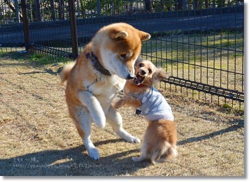 c猛犬注意?!