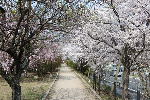 2018.04.02 満開の桜(長岡天満宮)①-1