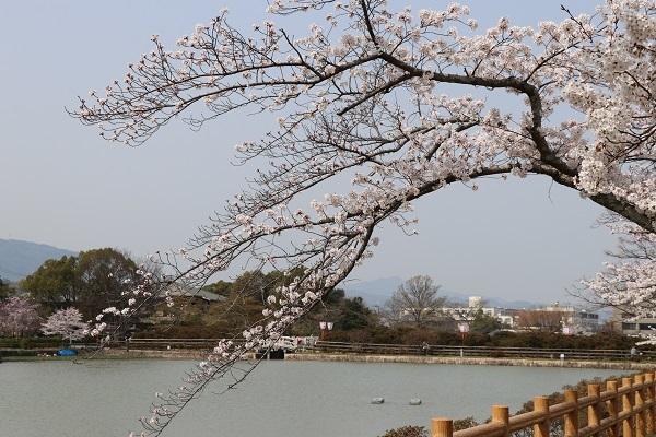 2018.04.02 満開の桜(長岡天満宮)①-2