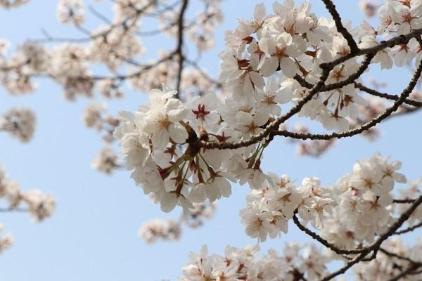 2018.04.02 満開の桜(長岡天満宮)①-3
