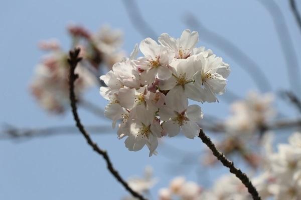 2018.04.02 満開の桜(長岡天満宮)①-4