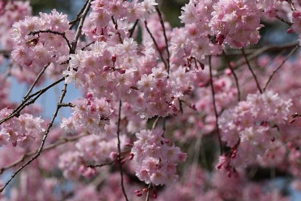 2018.04.02 満開の桜(長岡天満宮)①-5