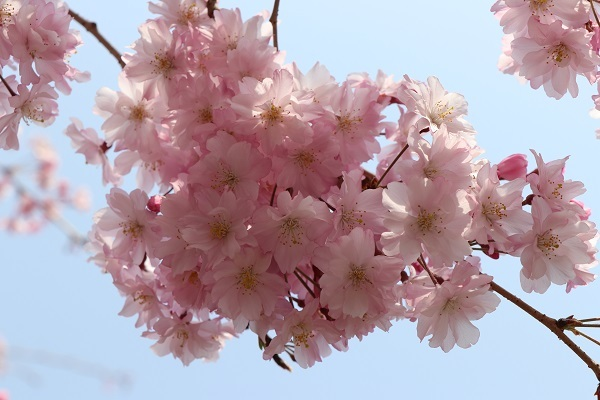 2018.04.02 満開の桜(長岡天満宮)①-7