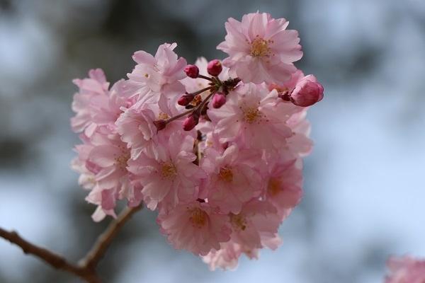 2018.04.02 満開の桜(長岡天満宮)①-8