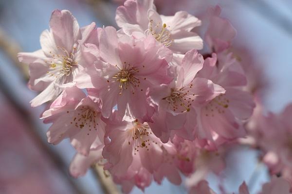 2018.04.02 満開の桜(長岡天満宮)①-9