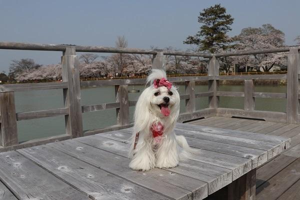 2018.04.03 満開の桜(長岡天満宮)②-4