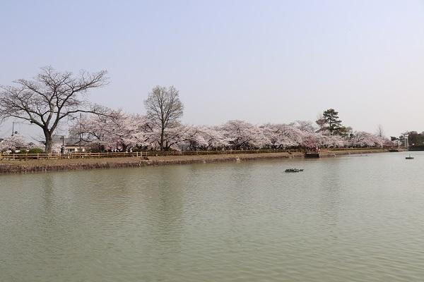 2018.04.03 満開の桜(長岡天満宮)②-6