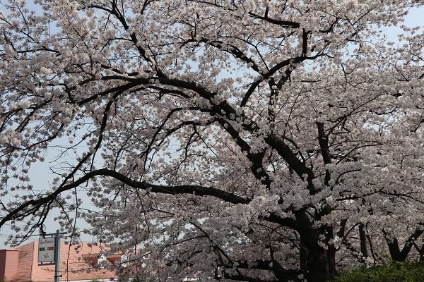 2018.04.03 満開の桜(長岡天満宮)②-7