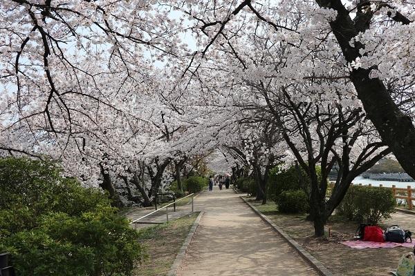 2018.04.03 満開の桜(長岡天満宮)②-8
