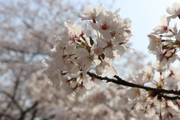 2018.04.03 満開の桜(長岡天満宮)②-9