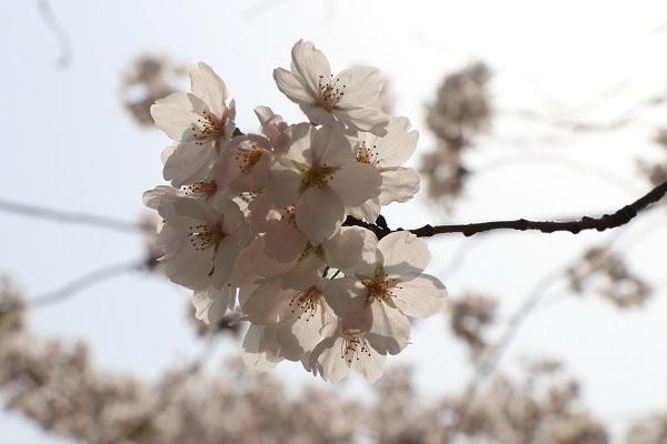 2018.04.03 満開の桜(長岡天満宮)②-10