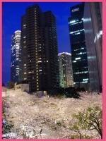 六本木アーク森ビル周辺の桜