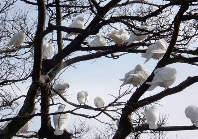3_上田久和_白鳩の木C