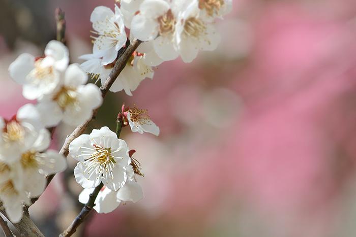 花めぐり 梅2