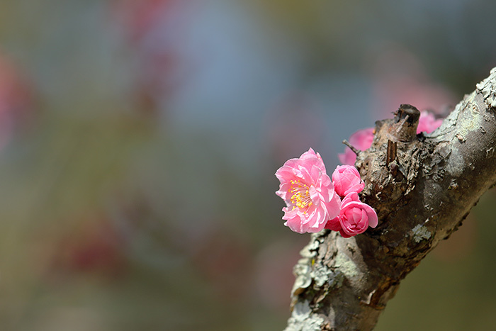 花めぐり 梅3