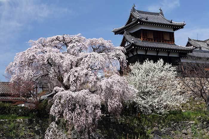 郡山城跡 枝垂桜1