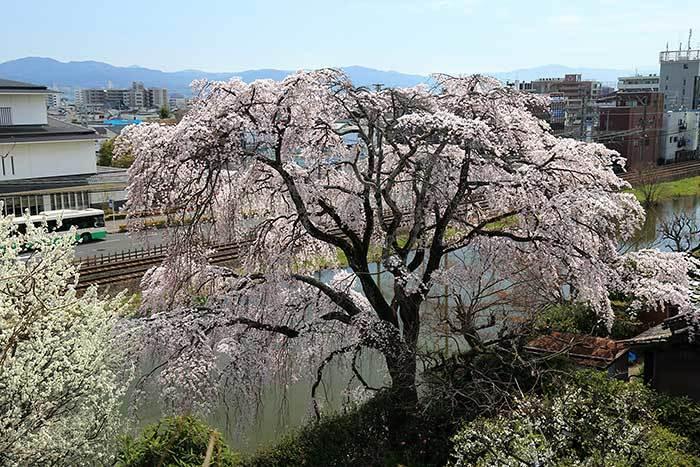 郡山城跡 枝垂桜2