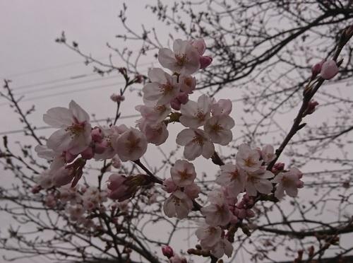 2018 3月18日 桜2