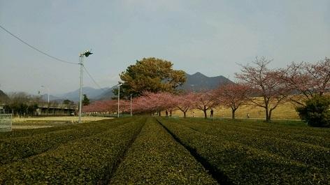 お茶畑と美和桜