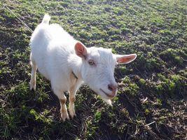 【写真】土手の草を食べている途中でこちらを見上げるポール