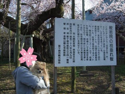般若院 枝垂桜1