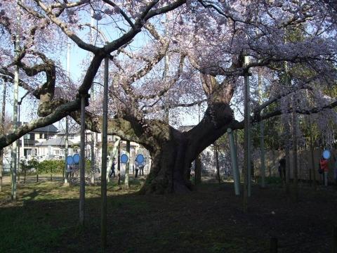 般若院 枝垂桜 3