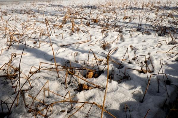 雪に埋もれるはす-1