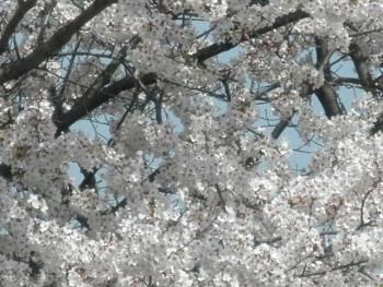 2018年桜2