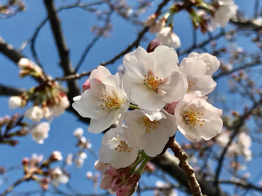 福岡に咲く桜。サクラ全般の花言葉は「精神の美」「優美な女性」