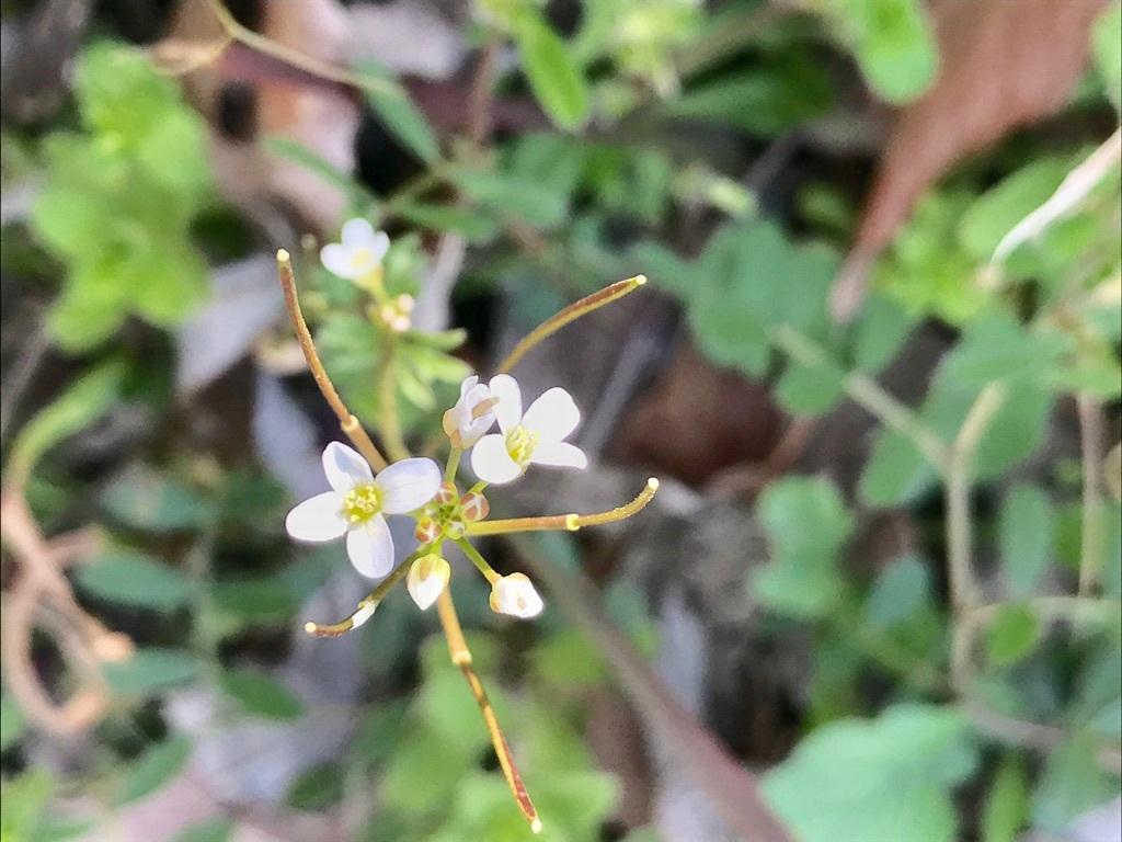 福岡に咲くクルマムグラ。茎の先端に白い花を咲かせる。