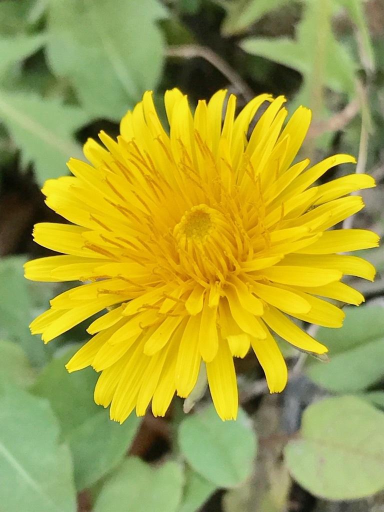 福岡に咲くセイヨウタンポポ。あまり季節を問わず、黄色い舌状花を長い期間にわたって咲かせる