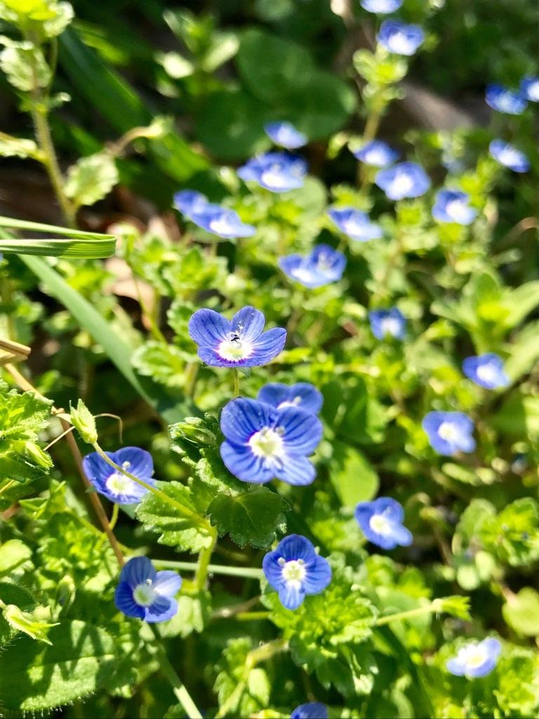 福岡に咲くオオイヌノフグリ。秋に芽を出して他の植物が繁茂しない冬に横に広がって育ち、早春に多数の花をつける。
