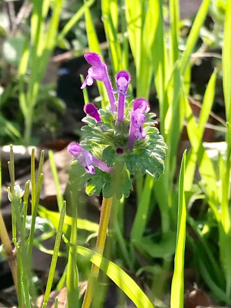 福岡に咲くホトケノザ。花期は3月から6月
