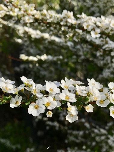 【福岡の朝陽を浴びているユキヤナギ。春に小さい白い花を咲かせる】5